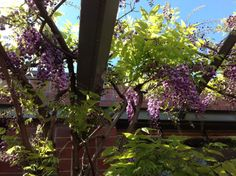 Wisteria blooming on the day of the spring equinox outside the office of David Thorne Landscape Architect.
