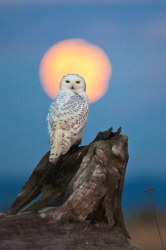 Alert Snowy Owl (Nyctea scandiaca), perched atop a driftwood stump, with the full moon rising behind, colored by the setting sun, during a winter irruption year, on the beach of Damon Point State Park, which juts into Grays Harbor near Ocean Shores, Washington State, USA, January 2012, Snowy_Owl-377  To see my weblog story about this photo, go to leerentz.wordpress.com