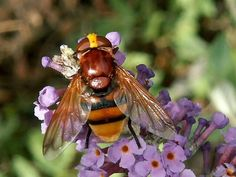 Volucella zonaria (female). One of largest UK hoverflies, easily recognised by its yellow- and black-banded abdomen plus shining chestnut thoracic dorsum and scutellum. Front part of wings orange/brown.