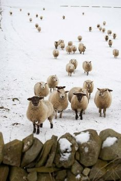 Winter sheep - Bet they're glad they're wearing wool coats!