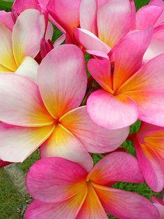 www.villabuddha.com  Bali  frangipani Bali