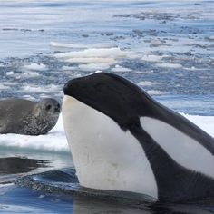 #whatyoucantseeatseaworld this is how type B orcas hunt in the wild! There are many varieties of orcas, all hunt differently, prey on different animals, have different languages and dialects all with...