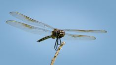 Dragonflies Perched and In Flight...