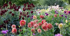 Dahlien zählen als farbenprächtige, blühfreudige Sommerblumen zu den beliebtesten Gartenpflanzen. Mit diesen Pflegetipps trimmen Sie die