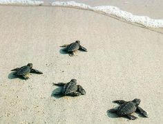 AT NIGHT TIME WE TURN OUR HOUSE LIGHTS OFF SO THE TURTLES DID NOT GET CONFUSED ABOUT WHERE THE MOONLIGHT WAS! Rosemary Beach FL. The nests are all up and down the beaches. It is a miracle to watch for sure. Those little babies dig their way out of the sand and KNOW which direction to head to the surf! Out of the 1000's that hatch only a few make it out to deep sea! Miracle of Life!