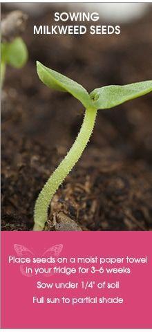 Sowing Milkweed Seeds to save the Monarchs Butterfly Food, Butterfly House, Monarch Butterfly, Butterfly Plants, Full Sun Flowers, Growing Greens, Hummingbird Garden, Small Gardens, Zen Gardens