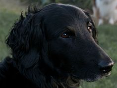 Flat Coat Website. This is how we know Harley is a flat coat.