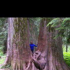 Ross Creek giant cedars, Libby Montana. spent 4 summers here