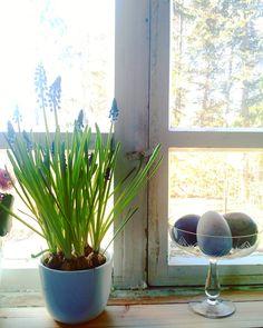 Kevätauringon paistaessa on talven varalle tilkityt ja teipatut ikkunat aukaistava. Mikäli teippaus on tehty paperinauhalla tai nauhallaliisterillä riittää pehmeä harja ja lämmin vesi. Mikäli olet hairahtunut käyttämään maalarin- tai muoviteippiä on liima luultavasti inhottavasti kiinni ikkunan pokissa. Ruokaöljy ja karhunkieli auttavat asiaan. Voit kokeilla myös alkoholipitoisia aineita mutta muista että maalipinta saattaa himmetä tujusta liuottimesta! Sitten vain tarvittaessa…