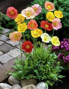 Delicate and beautiful poppies.