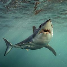 Mako shark, the fastest of the shark species