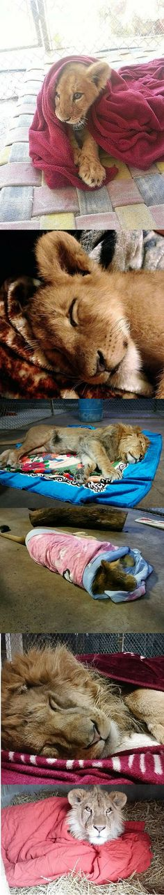 This lion has enjoyed his blankets from day 1.