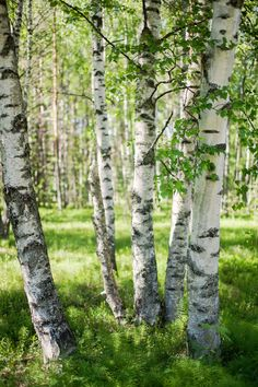 Birches by jjuuhhaa.deviantart.com