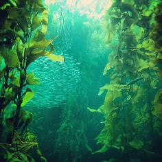 Kelp forest. Monterey Bay Aquarium. Why can't mermaids just exist already?