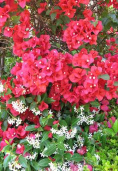 bougainvillea and star jasmine- and list of other desert vines and care instructions.