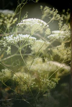 Queen Ann's Lace... Invasive but so gorgeous! /// Is this baby breathe or another thing altogether?