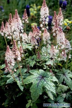 Another native to New England: Schuimbloem (Tiarella 'Pink Bouquet') Pink Garden, Love Garden, Shade Garden, Dream Garden, Garden Plants, Heuchera, Foliage Plants, Climbing Roses, Flower Bouquet Wedding