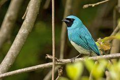 Male Swallow Tanager (Saí-Andorinha macho) by Fabio Rage, via Flickr