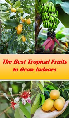 Discover the best tropical fruit varieties for indoor growing, including bananas, guava, oranges, and more! #tropical #fruit, #growing, #indoors