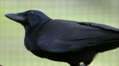 Are crows the ultimate problem solvers? - Inside the Animal Mind - BBC  ....amazing!!!