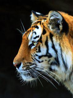Tiger VII by Kenoiya on deviantART