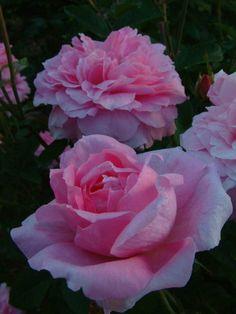 The Mayflower (Austilly) - David Austin English Roses - Old Garden Roses - Rose Catalog - Tasman Bay Roses - Buy Roses Online in New Zealand