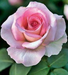 Beautiful Rose Flowers, Love Rose, My Flower, Flower Art, Beautiful Flowers, Purple Roses, Pink Flowers, Pink Flower Photos, Pink Rose Flower