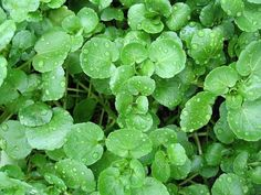 Watercress | Healing Herbs And Spices To Grow In Your Garden