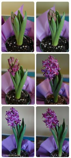 my favorite smelling spring flower... a hyacinth putting on her annual show