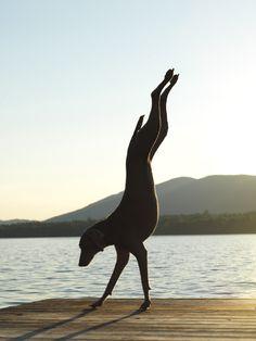 William Wegman, Handstand, 2011
