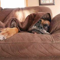 Boxer y pelos en el sillón