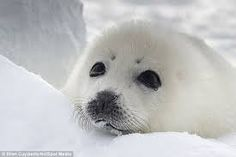 Image result for baby seal