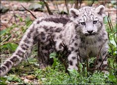 Baby Snow leopard (uncia uncia, levhart snezny, irbis) from ZOO Jihlava, Czech republic I was lucky to hug a baby snowie ____________________________________ STUFF I SELL OR OFFER FOR FREE ________... woxys