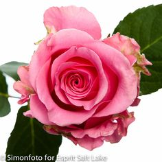 """Ballet"" medium pink rose"