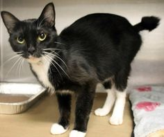 Enigma: Sweet tuxedo girl with weird tail is out of time at high-kill shelter