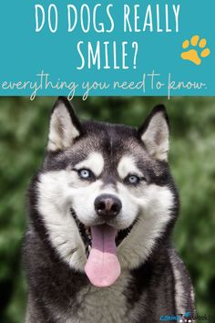 Have you ever wondered if your dog is really smiling at you? We break down the meanings behind different dog facial expressions. #dogs #dogsmile