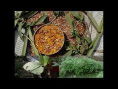 Medicinal Rice P5L Formulations for Scabiosa Excess: Pankaj Oudhia's Med...