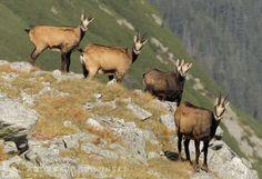 Chamois in the Tatra Mountains, Poland Polish Mountains, Twin River, Tatra Mountains, Nature Reserve, Wildlife Photography, Outdoor Activities, Poland, Adventure, Nationalparks