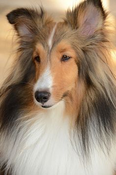 The Shetland Sheepdog originated in the and its ancestors were from Scotland, which worked as herding dogs. These early dogs were fairly Big Dogs, Cute Dogs, Dogs And Puppies, Sweet Dogs, Beautiful Dogs, Animals Beautiful, Cute Animals, Shetland Sheepdog Puppies, Herding Dogs