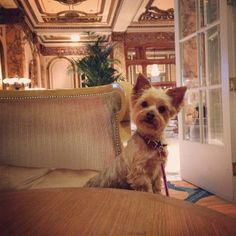 Daisy, hanging out at the bar at The Fairmont San Francisco  Adrienne Shubin @therichlifeonabudget Instagram photos