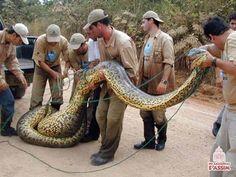 Fire Department collecting one Anaconda.Amazonas.BR