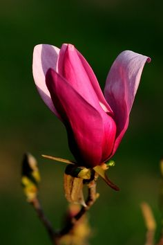 Tulip Magnolia Bud (Spring flowers ). Photo by RozzieRoo