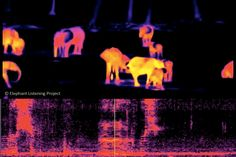 The Secret Lives Of Elephants Revealed With Infrared Cameras