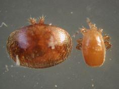 Tropiliaelaps & Varroa mites