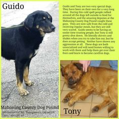 URGENT!!! LOVABLE GUIDO (lovebug) NEEDS A LOVING HOME ASAP!!!! YOUNGSTOWN, OHIO...Available on: 2/6Contact: mcdpdogs@gmail.comGuido and his buddy Tony are victims of irresponsible owners. Left to roam the streets and fend for themselves, while their owners didn't care. Both boys were terrified upon arriving at the pound. Guido...