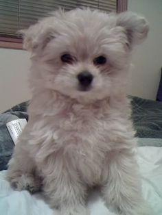 Pomapoo puppy on Pinterest   Pomeranians, New Puppy and ...