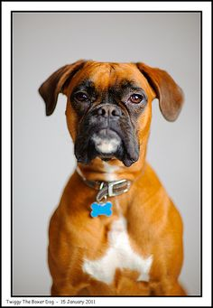 Twiggy The Boxer Dog | Flickr - Photo Sharing!