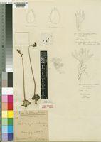 Holothrix pleistodactyla