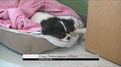 WIAT Birmingham: Group brings Cavalier King Charles Spaniels to Alabama as part of relocation effort Cavalier Rescue, Birmingham News, Spaniels, Cavalier King Charles, Animals And Pets, Alabama, Effort, Bring It On, Group