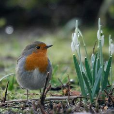 Beautiful Robin Redbreast.